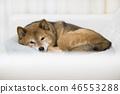 Shiba shiba-inu dog 46553288