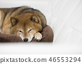 Shiba shiba-inu dog 46553294