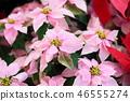 분홍색 포인세티아 꽃 46555274