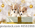 Two puppies Welsh Corgi sitting at a holiday gift 46563966