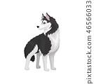 Siberian Husky, white and black purebred dog animal vector Illustration on a white background 46566033