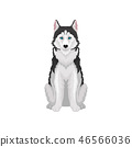 Siberian Husky, white and black purebred dog animal with blue eyes, front view vector Illustration 46566036