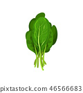 Kale fresh salad leaves, healthy organic vegetarian food, vector Illustration on a white background 46566683