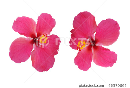 pink flower Hibiscus rosa sinensis isolated 46570865