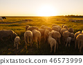 A lot sheep on the beautiful green meadow 46573999