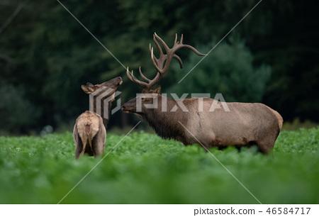 Bull Elk 46584717