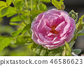 Pink Rose in the Garden 46586623