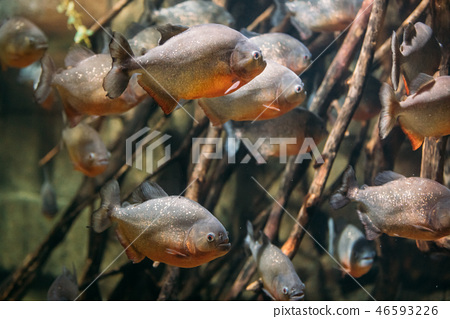 Red-bellied Piranha Or Red Piranha Fish Pygocentrus Nattereri Sw 46593226