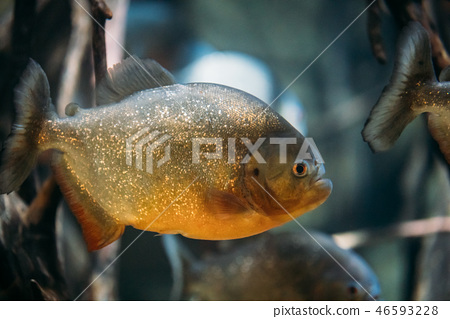 Red-bellied Piranha Or Red Piranha Fish Pygocentrus Nattereri Sw 46593228