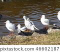 红嘴鸥 白色 红 46602187