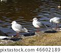 红嘴鸥 白色 红 46602189