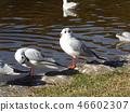 红嘴鸥 白色 红 46602307