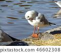 红嘴鸥 白色 红 46602308