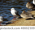 红嘴鸥 白色 针尾鸭 46602309
