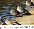 针尾鸭 野生鸟类 野鸟 46602310