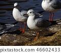 红嘴鸥 白色 红 46602433