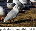 红嘴鸥 白色 红 46602434