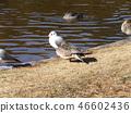 针尾鸭 棕色 褐色 46602436