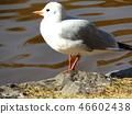 红嘴鸥 白色 红 46602438