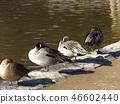针尾鸭 野生鸟类 野鸟 46602440