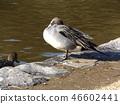 针尾鸭 野生鸟类 野鸟 46602441