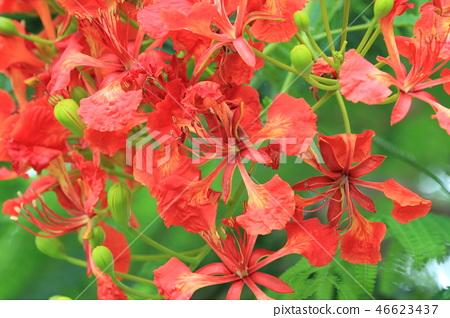 美麗的紅色鳳凰花 46623437