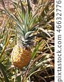 Hawaii Dole Plantation Pineapple Garden 46632776