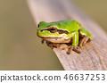green tree frog Hortobagy, Hungary 46637253