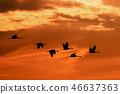 flying flock Common Crane, Hortobagy Hungary 46637363