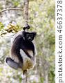 Black and white Lemur Indri on tree 46637378