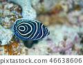 主刺蓋魚 魚 鹹水魚 46638606