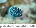 主刺蓋魚 魚 鹹水魚 46638607