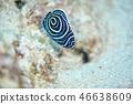 主刺蓋魚 魚 鹹水魚 46638609