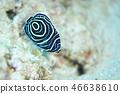 主刺蓋魚 魚 鹹水魚 46638610