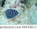 主刺蓋魚 魚 鹹水魚 46638611