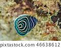主刺蓋魚 魚 鹹水魚 46638612