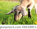 Close up photo on head of brown goat kid grazing 46638851