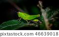 Grasshopper on green leaf 46639018