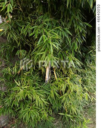대나무 46640050