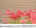 กลุ่ม amaryllis higanbana บานเต็มกันยายนดอกไม้ natsumori กลุ่มหลุมฝังศพเก่า 46642959