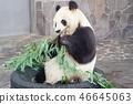 熊貓 46645063