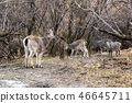 Herd young brown chamois eating grass 46645711