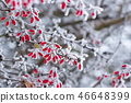 The first frost on a branch of barberries 46648399