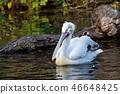 Dalmatian pelican floating on water  46648425