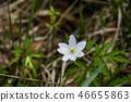 a wood anemone flower 46655863