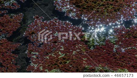 紅色水生植物 - 滿江紅 46657173
