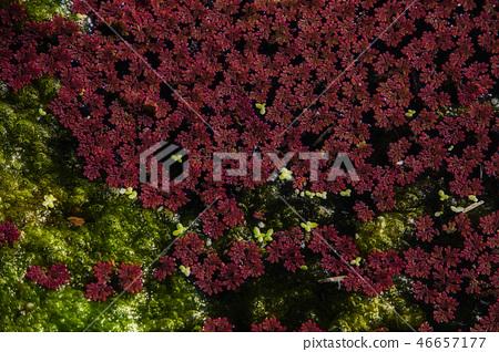 적색 수생 식물 - 홍앙 장 46657177