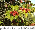Kurobane no Moto的紅色水果 46659949