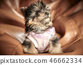 Yorkshire Terrier puppies 46662334