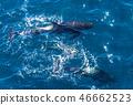 fin, whale, long 46662523